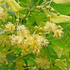 Activo botánico: Tilo de Hoja Grande - Fiore di Pompeia