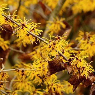 Hemorroides - activos botánicos: hamamelis