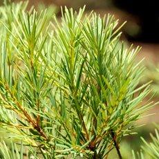 Hemorroides - activos botánicos: Tea Tree Oil