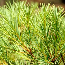 Pompeia Derm - Tea Tree Oil
